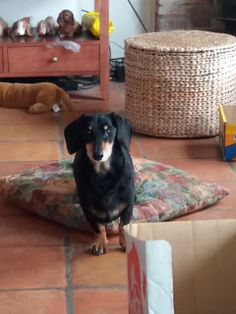 View from the Birdhouse: Dear Abby - Celebrating Special Pets: Miguel Luis.  A handsome dachshund from Mexico visits Abby's blog!