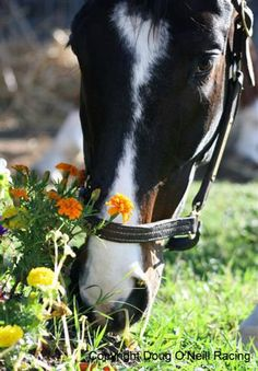 "Lava Man nibbling some grass and marigolds. He earned over 5 million dollars in his career but was bought at ""bargain price"" at the auction. He was trained by the same trainer (Doug O'Neill) as I'll Have Another."