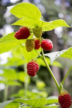 Tips on how to prune raspberries in the fall. Pruning is necessary for your raspberry plants to keep producing every year, Raspberry Bush, Raspberry Plants, Raspberry Tree, Growing Succulents, Planting Flowers, Flower Gardening, Gardening Tips, Tree Planting, Organic Gardening