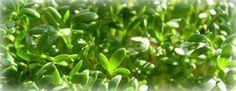 Watercress - How to grow http://extension.usu.edu/files/publications/publication/HG_Garden_2008-03pr.pdf