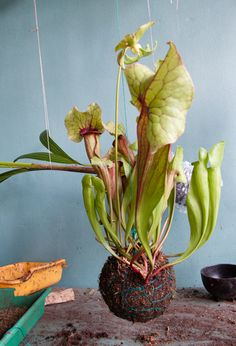 Great shot! We can help you grow them: http://www.hortcourses.com/courses/carnivorous-plants-vht107-154.aspx