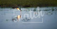 African Skimmer feeding after sunset Snatch Stock Images - Stock Photography | Vectors | Graphics | Videos