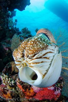 """Nautilus ~ Miks' Pics """"Sea Life lll"""" board @ http://www.pinterest.com/msmgish/sea-life-lll/"""