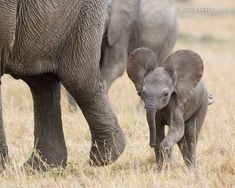 Baby Elephant by Suzi Eszterhas Animals And Pets, Baby Animals, Funny Animals, Cute Animals, Animal Babies, Nature Animals, Wild Animals, African Elephant, African Safari