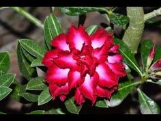 Rosa-do-deserto - Adenium Double Santa - AprendaCultivar Fairy Tattoo Designs, Plantar, Desert Rose, Exotic Plants, Petunias, Dream Garden, Container Gardening, Outdoor Living, Garden Design