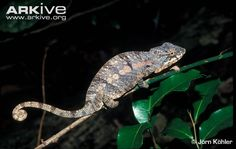 Learn more about the Chameleon - with amazing Chameleon photos and facts on Arkive Endangered Reptiles, Predator, Survival, Pictures, Animals, Eat, Inspiration, Photos, Biblical Inspiration