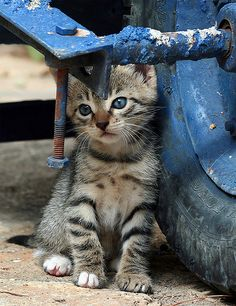 colorezmoi:  Sweet kitty, you're blue too? Blue…. (Feral / Stray kitten) by Roeselien Raimond on Flickr.