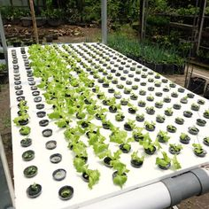 Halo bibit-bibit kesayangan di halaman Indmira :) Cepat tumbuh besar sehat dan baik ya. Semoga daunmu tetap selalu hijau nutrisimu tetap menyehatkan anak Indonesia manfaatmu selalu terjaga dan kamu tak pernah layu seperti semangat Indmira yang selalu segar untuk terus berkarya dan mengembangkan teknologi pertanian di Indonesia . . . #IndmiraPic #Indmira #hydroponics #aquaponics #aqua #plantation #organicproducts #urbanfarming #vertikultur #verticalfarming #hidroponik #hidroponikindonesia…