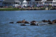 Watch the Chincoteague ponies swim.