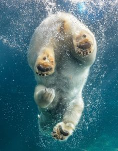 Polar bears have a nictitating membrane, or third eyelid, that allows them to see underwater and protects their eyes in blowing snow. (photo by Clark Oden)