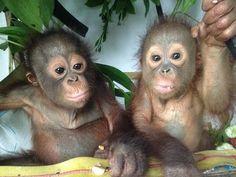 Budi and Jemmi enjoying fruit in their hammock | International Animal Rescue