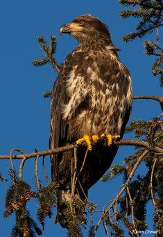 ☀Juvenile Bald Eagle © Karen Crowe Photography