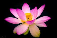 A beautiful lotus mundane by Letian D: Fine Art Photography #photography #amazingpics http://alldayphotography.com