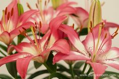 Lilium 'Perfect Joy' has large, strawberry pink coloured flowers, that feature soft white flower centres - a lovely colour combination on one plant. Different Flowers, Different Colors, White Flowers, Beautiful Flowers, Chelsea Flower Show, Flower Center, Year 2016, Colour Combinations, Gerbera