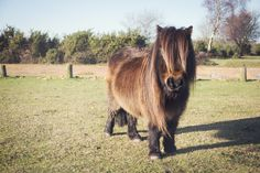 The cutest little shetland pony i have everrr seen!!