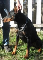 Ranger: Doberman Pinscher, Dog; Sun Valley, CA They are another great rescue here in SO CAL!