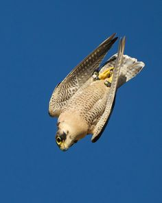 "Peregrine Falcon ""Hayabusa"" in Japanese, the peregrine falcon can reach speeds 180 - 200mph in a dive to catch prey. Hence the fastest production motorcycle being named Hayabusa when introduced in 1999."
