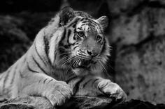 Animal Tiger  Animal Predator (Animal) Black & White Wallpaper