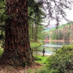 La #Secuoya más alta de #Navarra. ¿La conoces? En el bmbalse de Domiko, cerca de Lesaka. (Foto: @patferrero / Instagram) Tree Forest, Pamplona, Forests, Trees, Instagram, Lakes, World, Landscape Architecture, Wanderlust