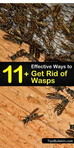 Find out how to use wasp traps for pest control. Never suffer from wasp stings by getting rid of wasps' nest before late summer. Wear protective clothing and wasp control is quickly managed. Wasp Trap Diy, Wasp Traps, Get Rid Of Wasps, Bees And Wasps, Killing Wasps, Getting Rid Of Bees, Wasp Spray, Wasp Repellent