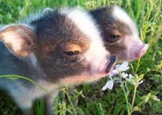 This baby micro pig enjoyed its first steps outside in the spring sunshine at the Little Pig Farm in Christchurch, Cambridgeshire. Description from tumblr.com. I searched for this on bing.com/images