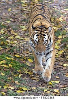 Tiger Walking Poster