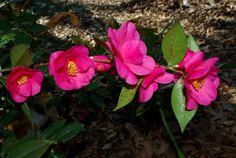 "Branch of Camellia ""Crimson Candles"""