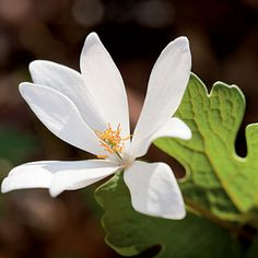 Bloodroot (Sanguinaria canadensis) This iconic woodland flower has attractive, near evergreen leaves. Responds well to fertilizer and water. Woodland Flowers, Woodland Garden, Spring Flowers, Wild Flowers, Home And Garden, Garden Modern, Shade Plants, Blossom Flower, Native Plants