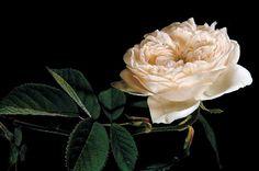 Blanche et nacrée, cette rose imposante et délicatement parfumée porte le nom de son créateur, Eugène Hardy qui fut en charge du Jardin du Luxembourg de Paris entre 1817 et 1859. Madame Hardy est un arbuste vigoureux et très résistant au froid dont la taille peut atteindre 2 m. ©  Paul Starosta