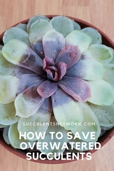 Overwatering is a main problem for succulents and cacti. If your plant is dying due to overwatering, there is still hope! Learn how to save your over-watered succulent in this article. How To Water Succulents, Planting Succulents, Sun And Water, Succulent Care, Top Soil, Replant, Snake Plant, Cacti, Coloring Books