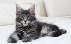 Adorable dark silver maine coon kitten with intelligent expression