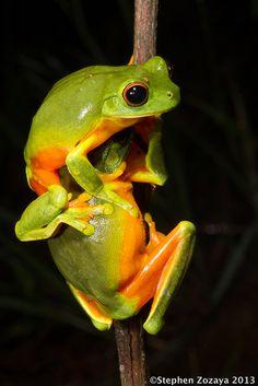 **Northern Orange-eyed Treefrog (Litoria xanthomera)