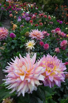 This picture was taken in Golden Gate Park, San Francisco California in early fall Every year the Dahlia Society plants hundreds of Dahlias in the Dahlia Dell near the Conservatory of Flowers. Garden Bulbs, Garden Trees, Trees To Plant, Garden Plants, Fruit Garden, House Plants, All Flowers, Flowers Nature, Pretty Flowers