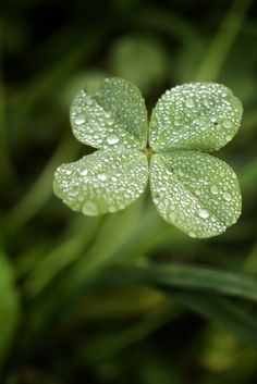 Ireland- The luck of the Irish. ~ Four Leaf Clover - Irish Eyes Are Smiling, Four Leaves, Irish Blessing, Lucky Day, Dew Drops, All Nature, Four Leaf Clover, Clover Green, Clover 3