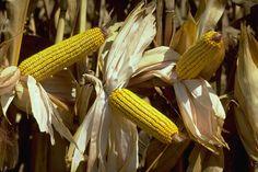 EU Set to Approve GM Maize 1507 Despite Rejection by 19 Countries? ...would be the first GM maize to be allowed for cultivation in Europe since 1998.