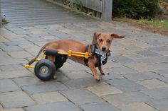 Millie loves her mobility in her Eddie's Wheels cart!