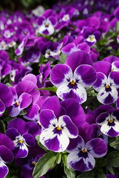 Explore the World of Pansies from Behnke Nurseries Annual Buyer/Manager Marian Parsley