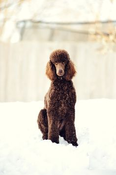 Standard poodle in the snow.