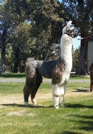 Image result for llama castration Llama Alpaca, Alpacas, Sheep, Goats, Ranch, Animals, Image, Guest Ranch, Animaux