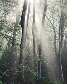 photography, landscape, nature, forest, trees, fog, tree, 16 x 20 print