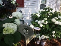Annabelle hydrangea in full bloom!