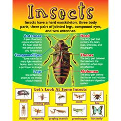 Insects: Graphic Organizers KWL Chart, Venn Diagram, Classifying ...