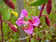 California Native - Elegant Clarkia