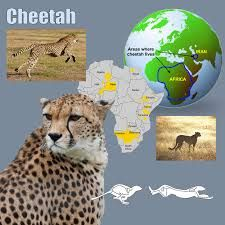 cheetah pictures and facts
