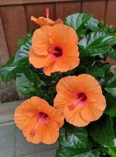 hibiscus flower drawing parts Exotic Flowers, Orange Flowers, Tropical Flowers, Summer Flowers, Amazing Flowers, Beautiful Roses, Beautiful Flowers, Flowers Perennials, Planting Flowers
