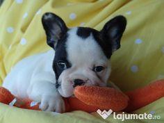 Câini Bulldog Francez