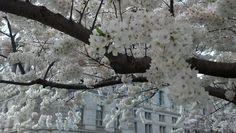 Cherry Blossom Tree, @ Library of Congress. 2014