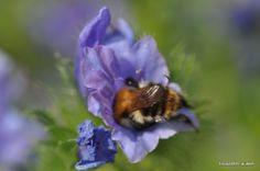 bumblebee hommel