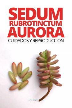 Rhipsalis cereuscula: cuidados y reproducción