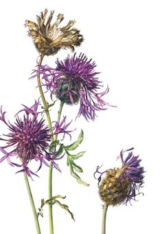 Rosie Sanders GREATER KNAPWEED (Centaurea scabiosa) Watercolour on Arches 640gsm 40.13 x 27.5ins (102 x 70cm) © The Artist